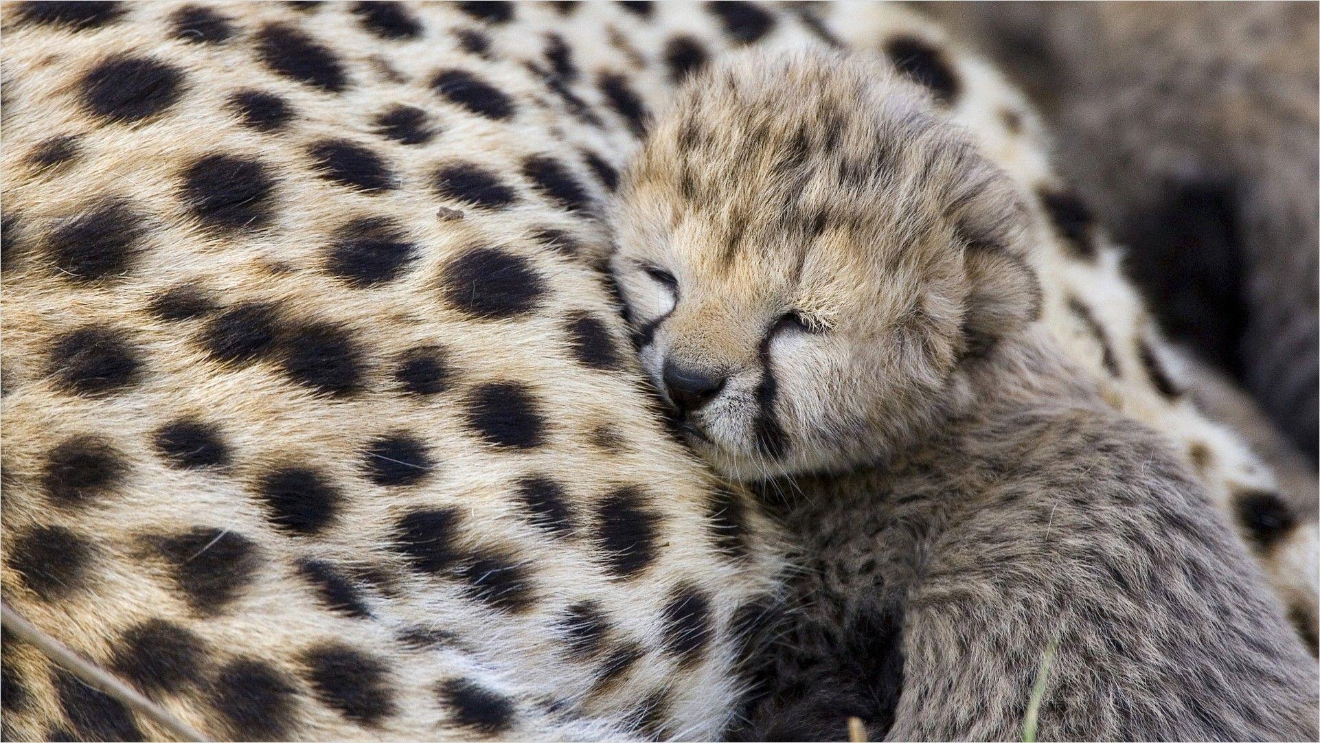 4k Baby Cheetah Wallpaper Cute Wild Animals Leopard Pictures Wild Animals Photos