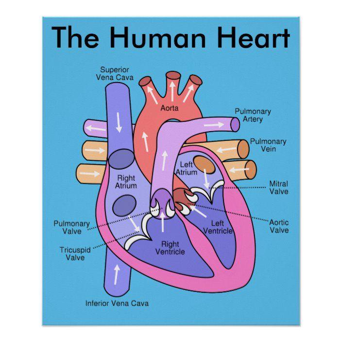 Pin on Human heart diagram