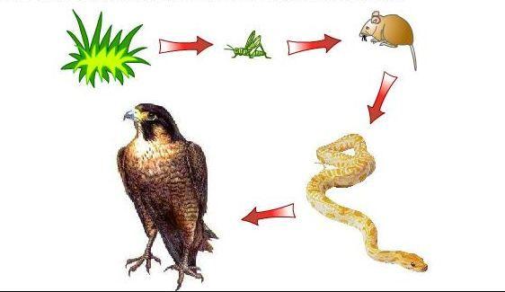Cadena Alimentària 2 Animals Rooster