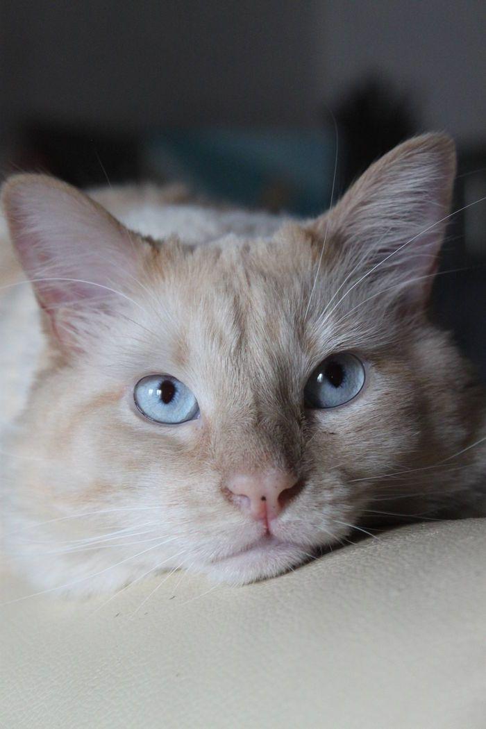 sphynx cat for sale washington