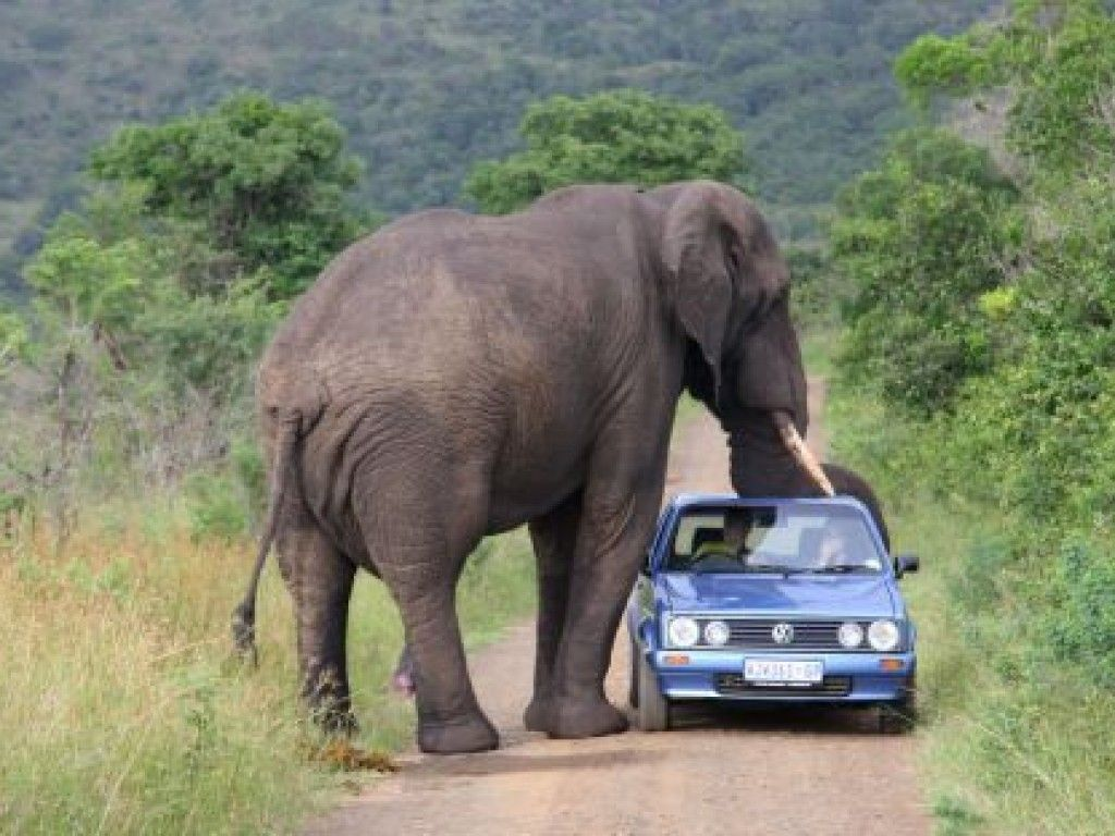 This Elephant Started Attacking Random Cars, The Reason Why Is Very Romantic #animals - http://www.viral-next.com/this-elephant-started-attacking-random-cars-the-reason-why-is-very-romantic/