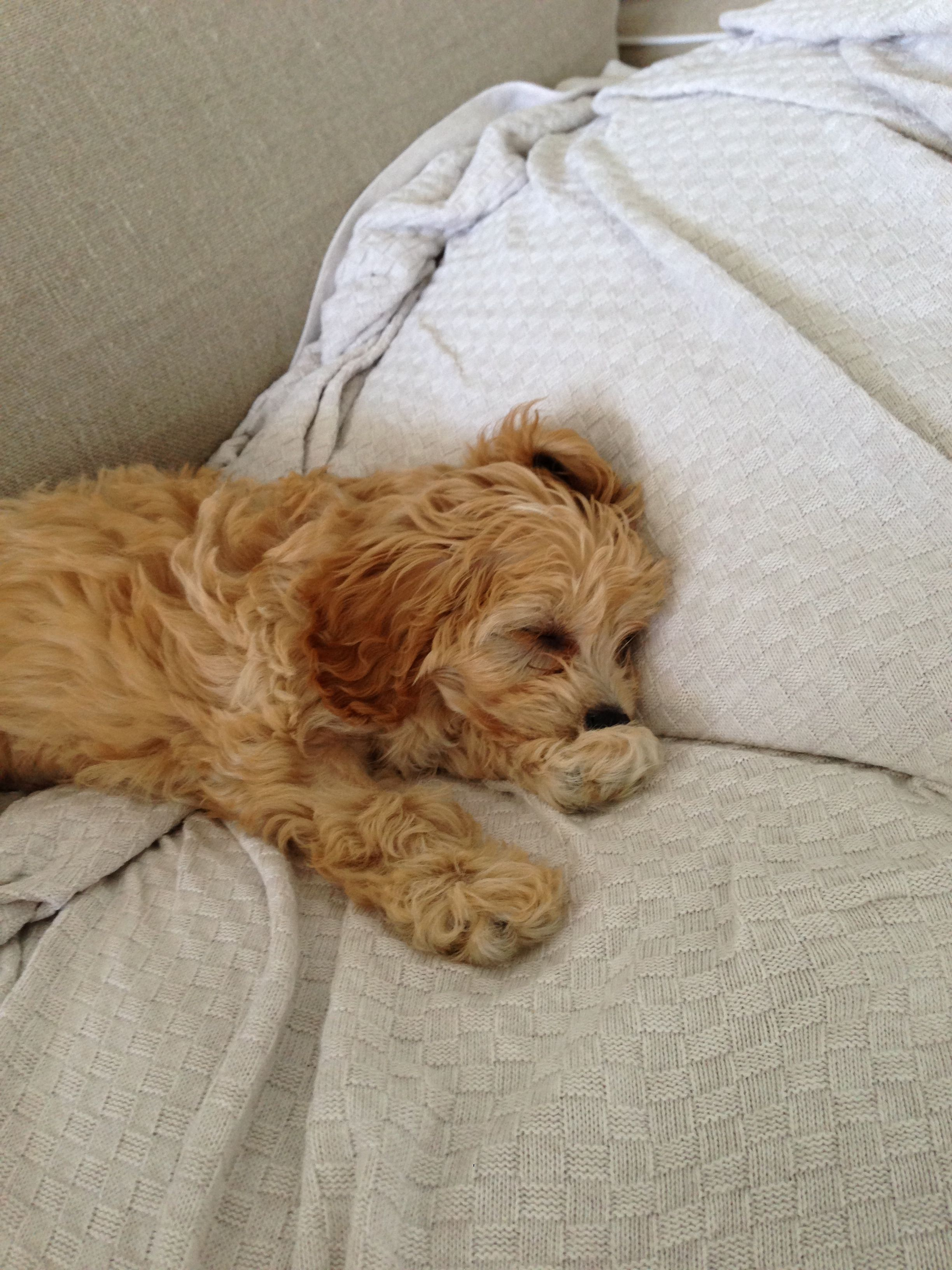 Latte toy cavoodle Cavapoo puppies, Puppies, Dogs
