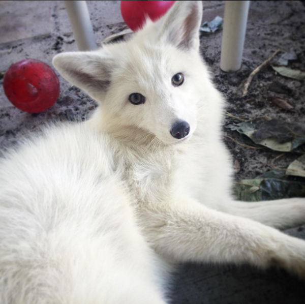rylai is a white marble red fox who think she s a dog pet
