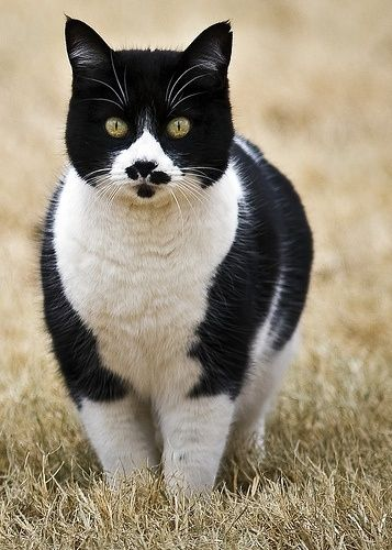 Tuxedo Cat with Unusual Face Markings