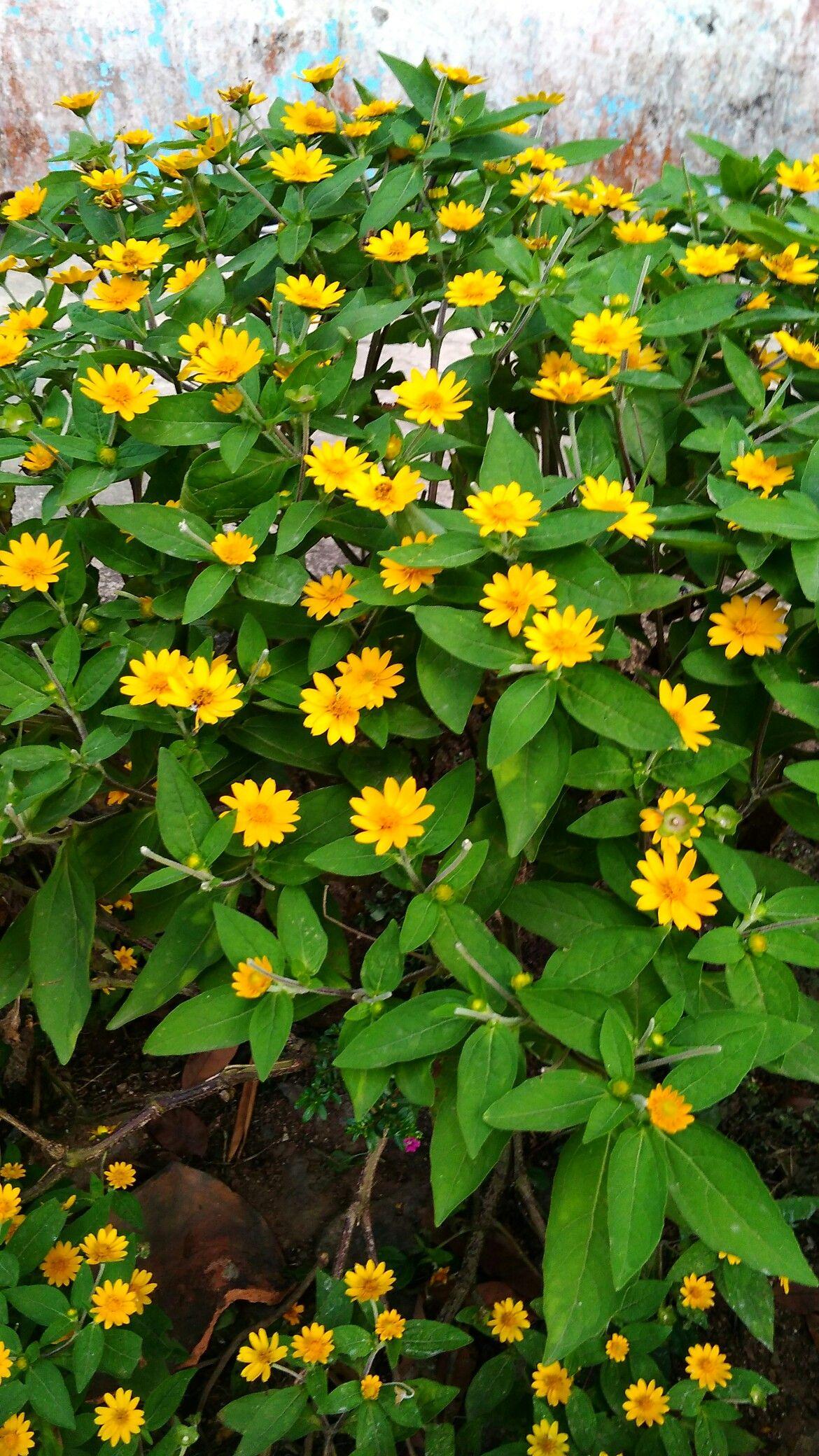 Bunga Matahari Kecil Bogor Bunga Bunga Matahari Matahari