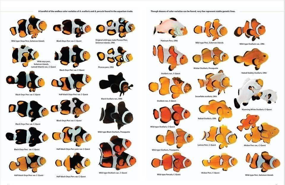 Clown Fish Species Chart 2019   Saltwater fish tanks ...
