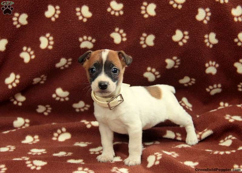 Anna Jack Russell Terrier Puppy For Sale In Pennsylvania Cute Animals Cute Little Animals Animals And Pets