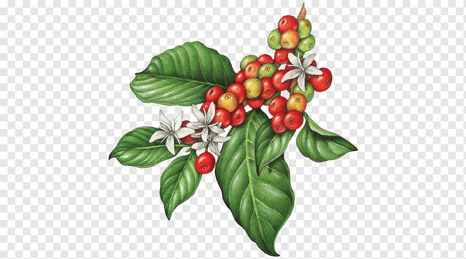 Ripe And Unripe Coffee Beans Illustration Coffee Bean Cafe Tea Espresso Botanical Flowers Natural Foods Food Coffee Beans Coffee Illustration Coffee Plant