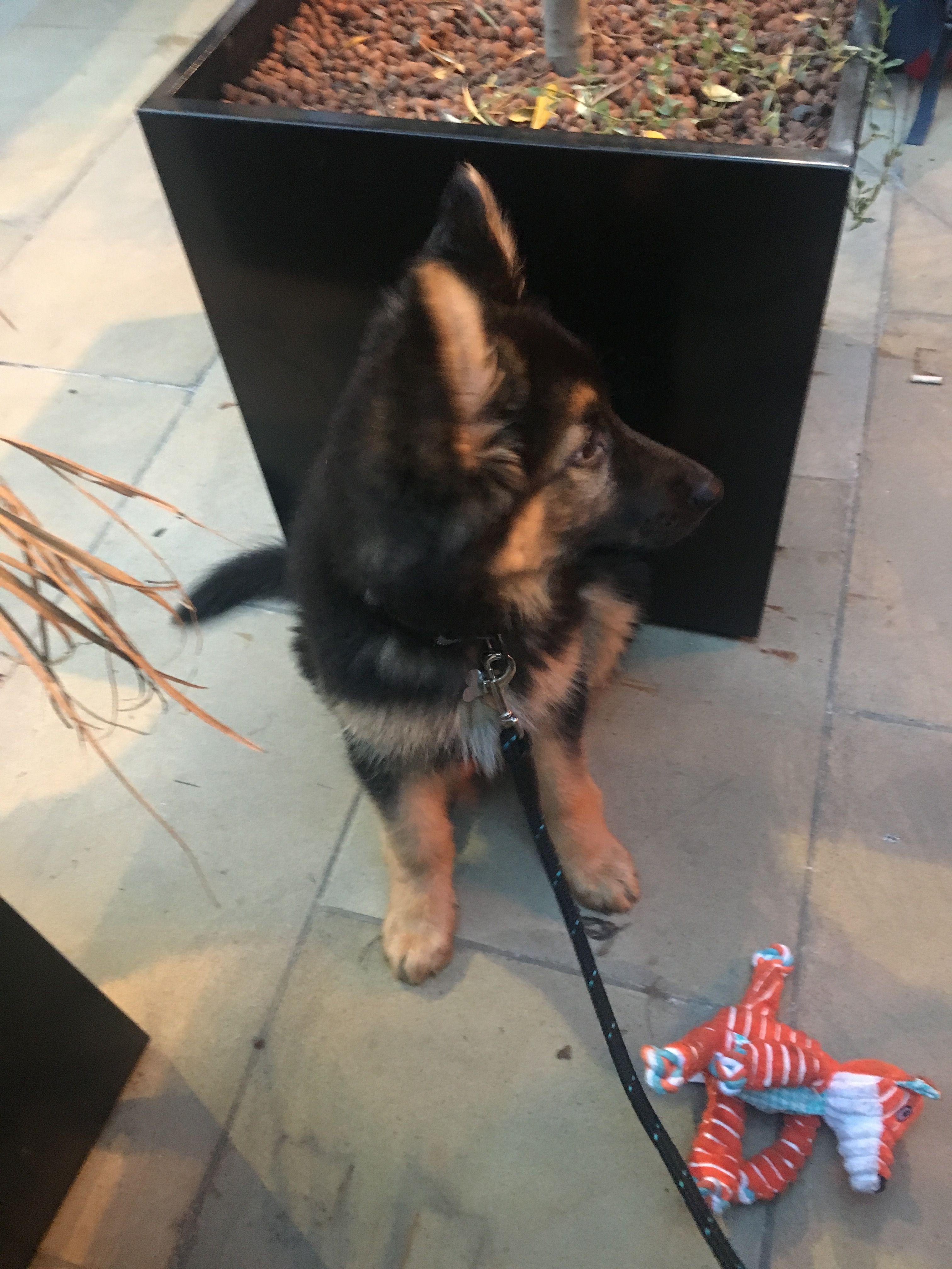 10 Week Old German Shepherd Puppy Happily Sitting While Mummy Eats