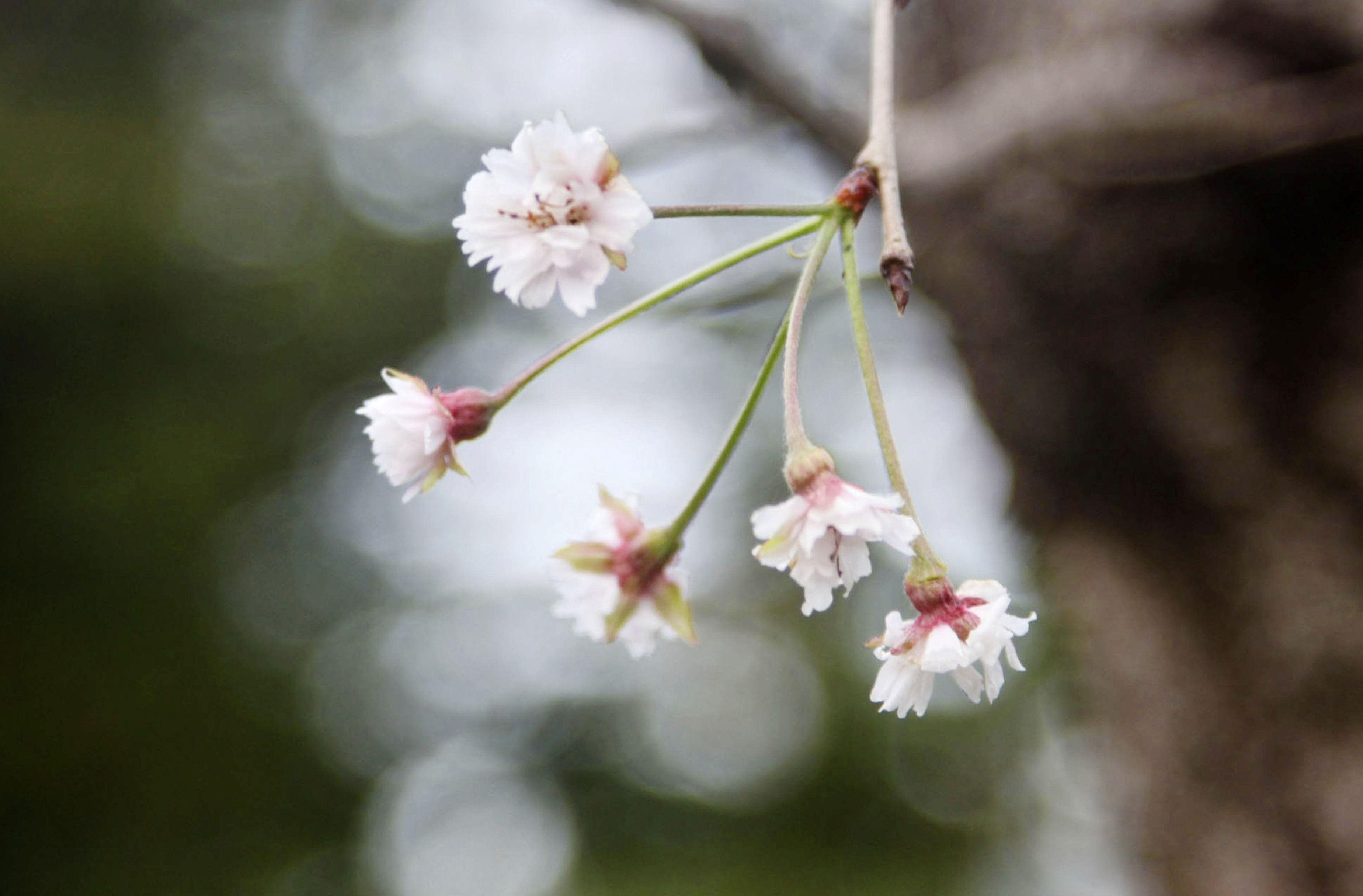 Tokyo Reuters Cherry Blossoms Across Japan Have Bloomed Six Months Early After Two Powerful Typhoons Pummelled Japanese Cherry Blossom Cherry Blossom Bloom