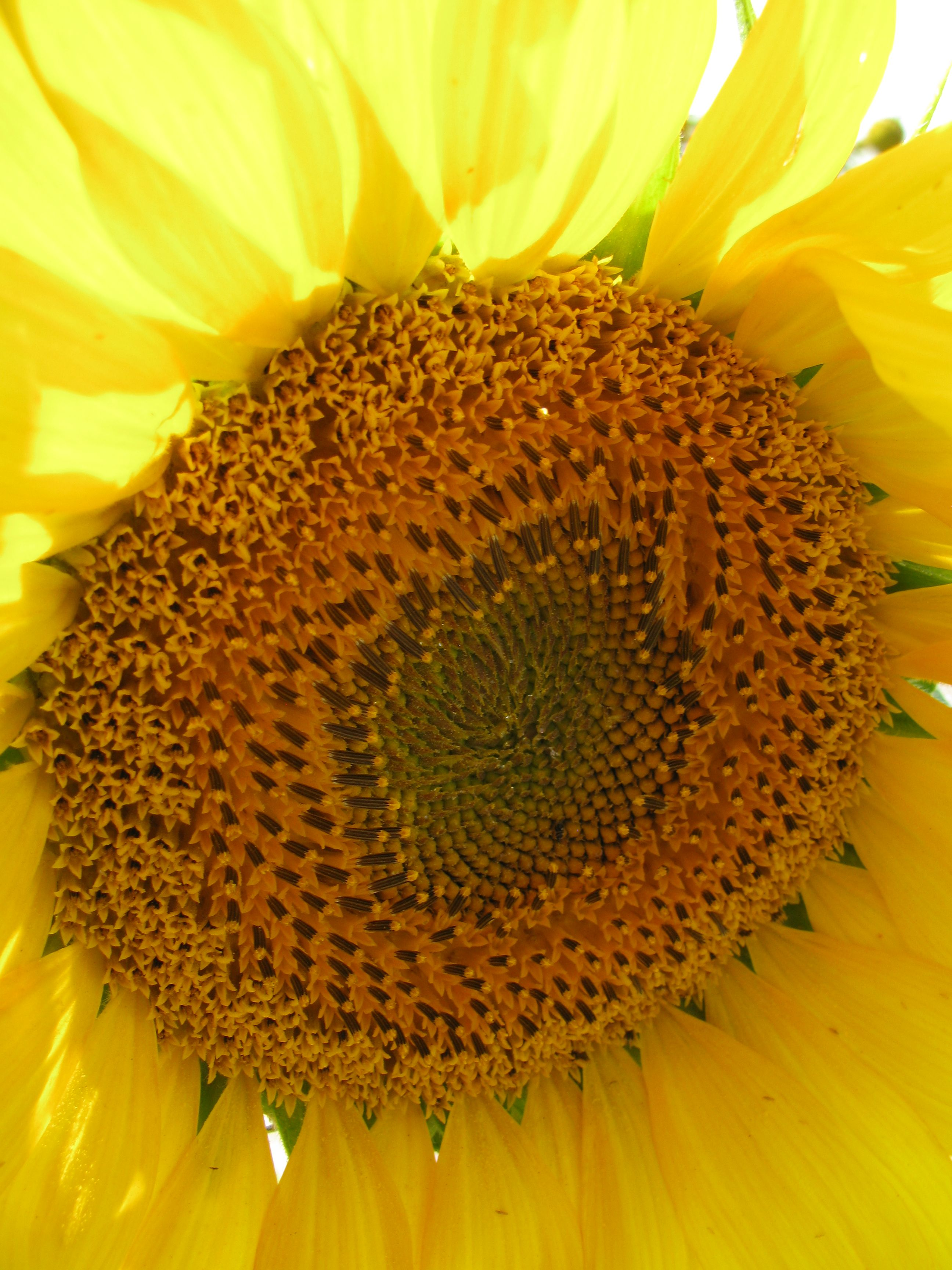 sunflowers in South Dakota