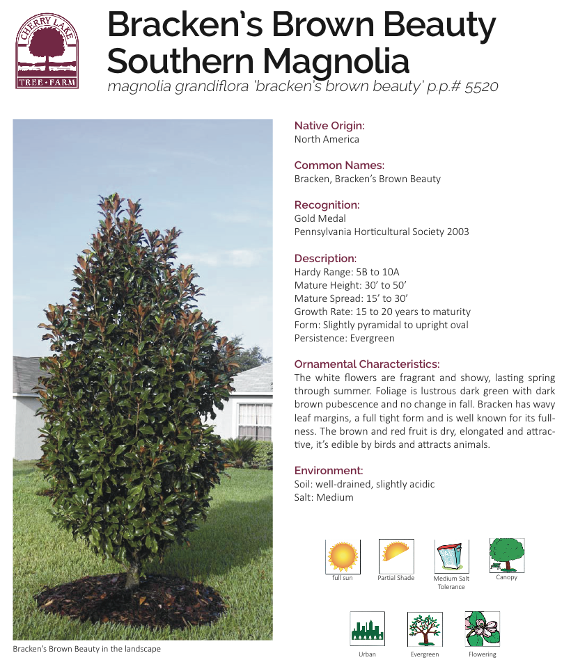 Magnolia Brackens Brown Beauty Keeps Most Leaves In Winter And