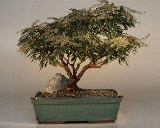 Pieris Japonica Bonsai Yahoo Image Search Results Bonsai Japonica Plants
