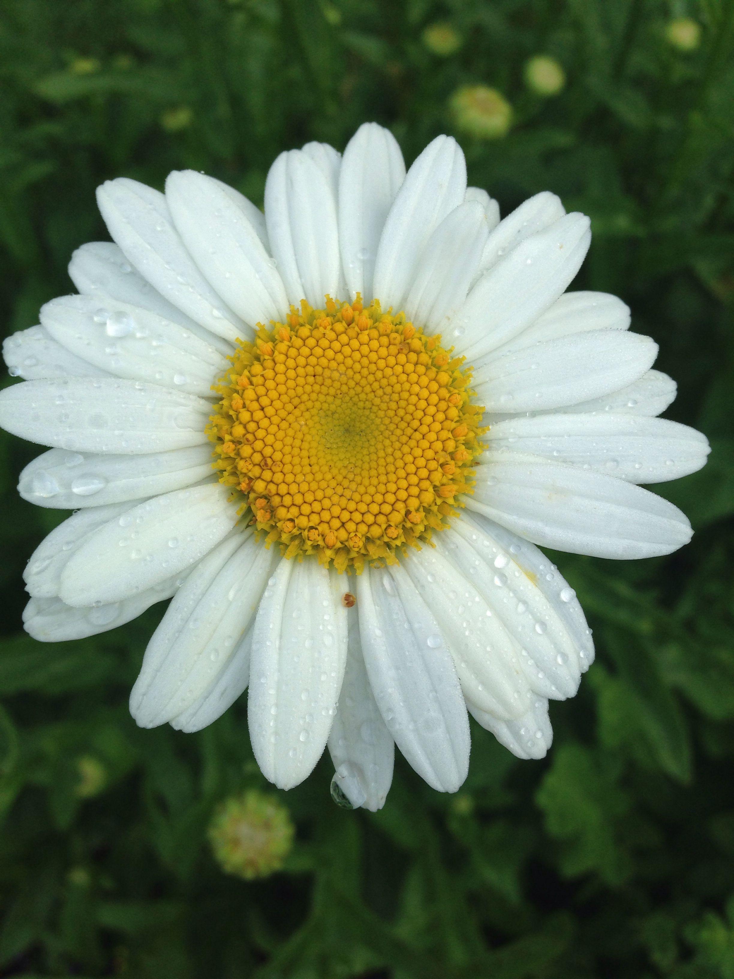 Shasta Daisy Flowers Pinterest Flowers