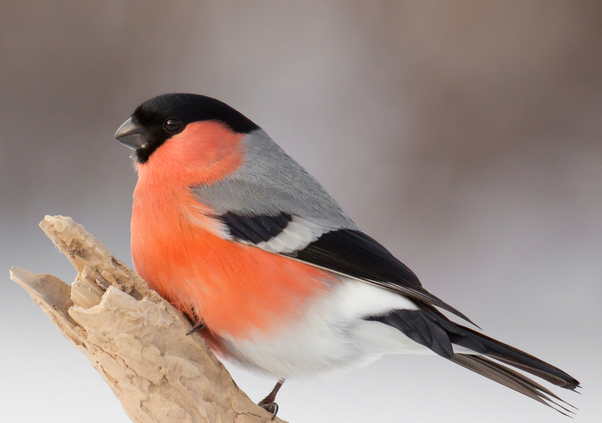 Bullfinch Pet Birds Bullfinch Beautiful Birds