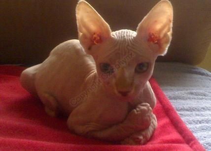 sphynx cat  the most beautiful cats i will have one