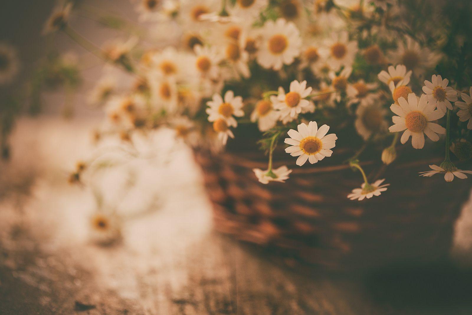 https://flic.kr/p/KyRan3 | Chamomile | Como tú bien has dicho, este año vengo cargada de tesoros... pero lo son por venir llenos de recuerdos de la infancia, como este que te traigo... son manzanillas que iba a buscar de niña, y hacía años que no había vuelto a ver... las tengo un especial cariño... y con ellas te deseo todo lo mejor para este y todos los días, disfruta mucho con los tuyos y un besazo lleno de cariño, Rosa!!!! mmmmmmuac