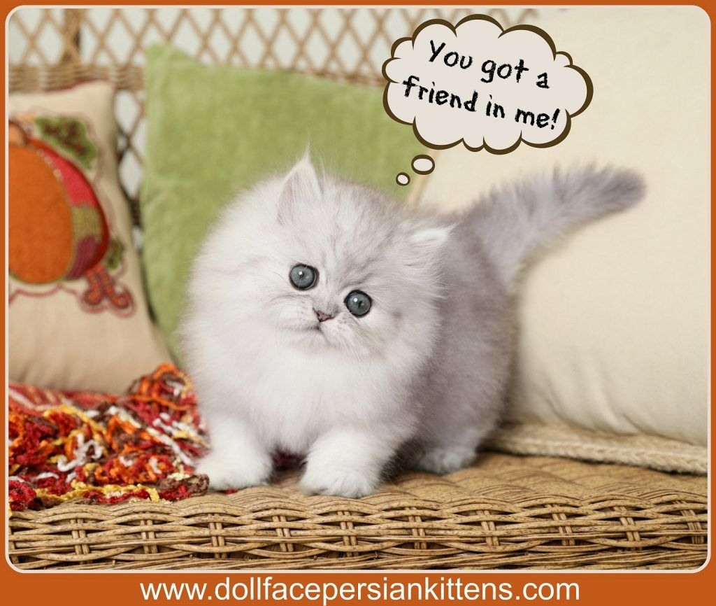 Silver Persian Kittens For Sale In 2020 Persian Kittens Teacup Persian Kittens Teacup Persian Cats