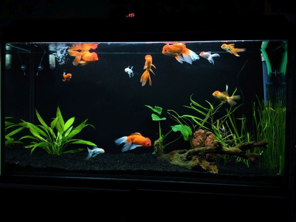 how to set up a fish tank for goldfish