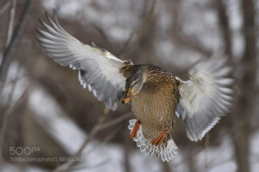 http://ift.tt/1K6283m #animals Wide open wings by BertdeTilly http://ift.tt/1OUWwIk