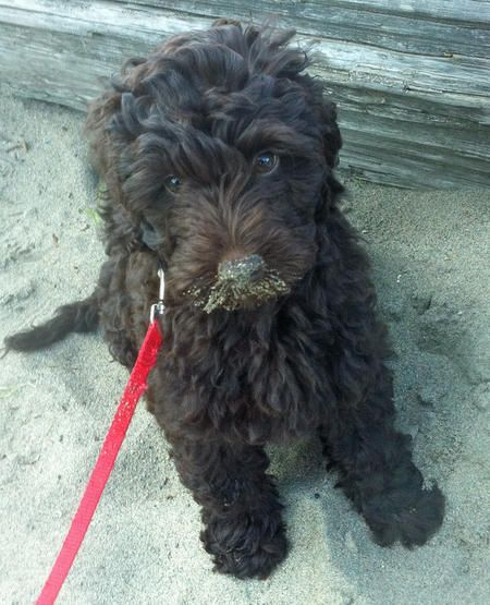 Chocolate Brown Miniature Labradoodle So Adorable Labradoodle