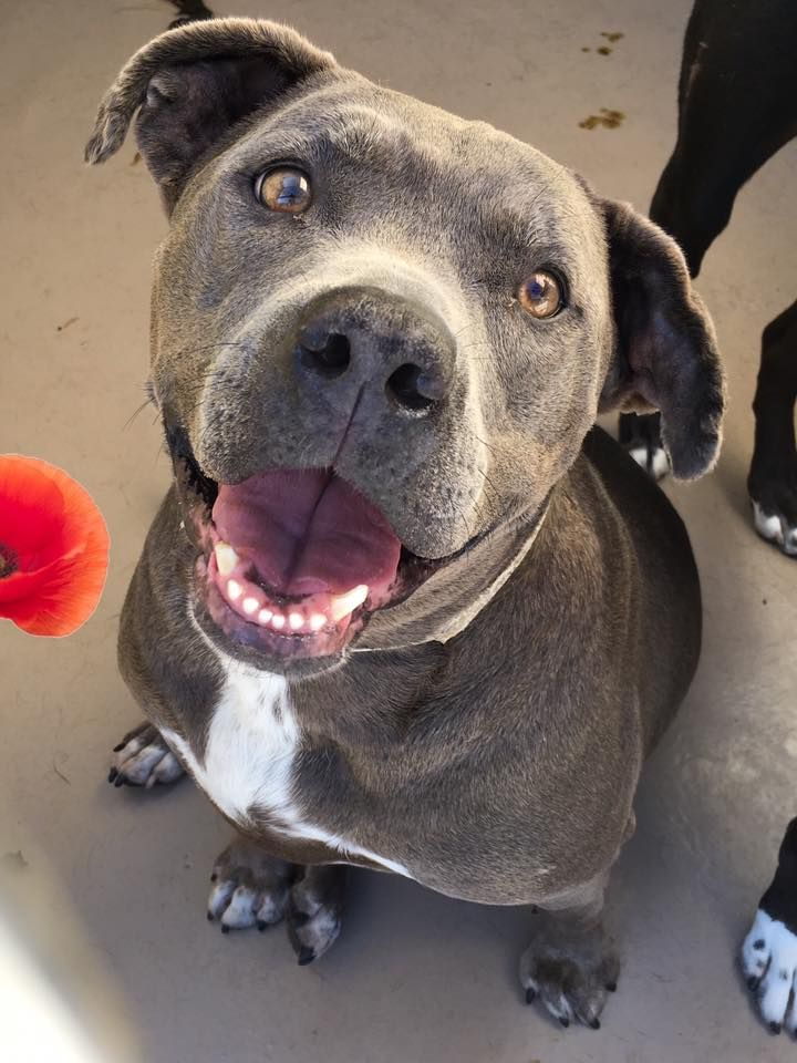 SOS!!! RIVERSIDE CA FOSTERS NEEDED!!! Wonderful Bonnie was due out 19 days ago!! CODE RED!! BONNIE - ID #A1232767 (Available NOW,)  Spayed female, blue Pit Bull Terrier about 4 years old.  https://www.facebook.com/1403036200019402/photos/a.1403050556684633.1073741828.1403036200019402/1507537716235916/?type=3&theater