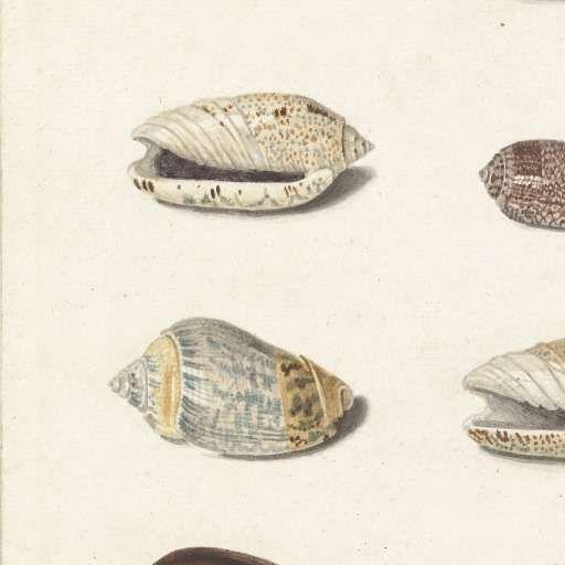 Twenty Tropical Shells, Johann Gustav Hoch, 1726 - 1779 - Sea Life-Collected Works of Olisa - All Rijksstudio's - Rijksstudio - Rijksmuseum