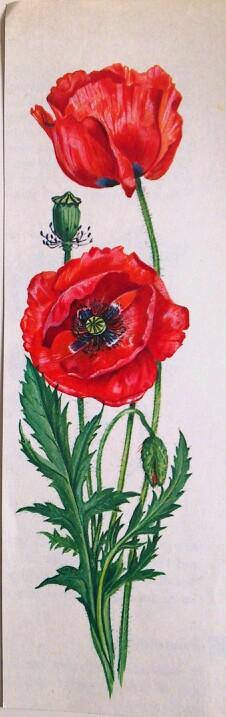 Poppy Flower Mohn Blume Blumen Malen Botanische Zeichnungen Blumenbilder