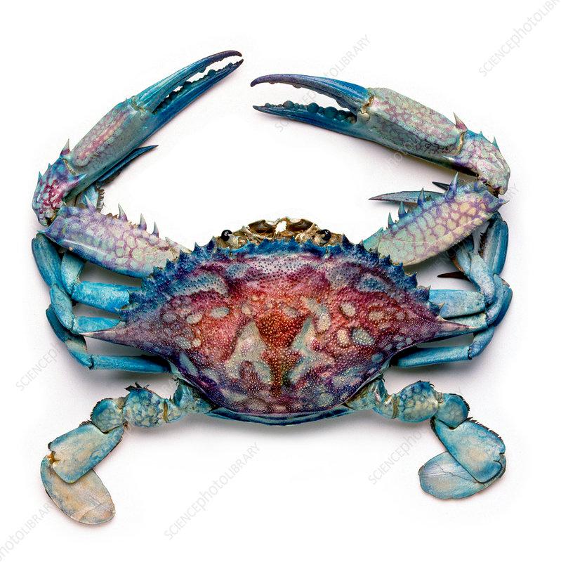 Blue Crab Stock Image C010 8084 Science Photo Library Blue Crabs Art Crab Art Crab