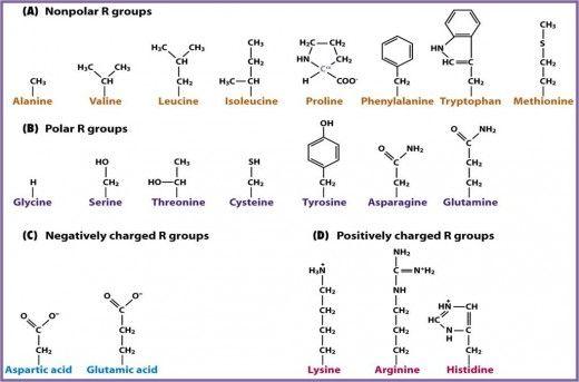 Amino acids An Introduction Biology Exams 4 U Proteins - amino acid chart