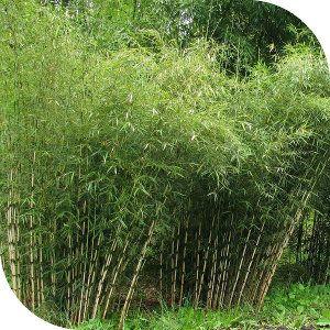 Conseil pour la création d\'une haie de bambous. Sélection d ...