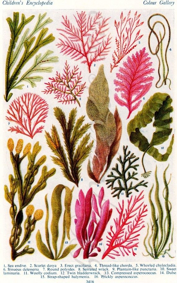 Seaweed - 1952 Children's Encyclopaedia Page from One SpeckledEgg