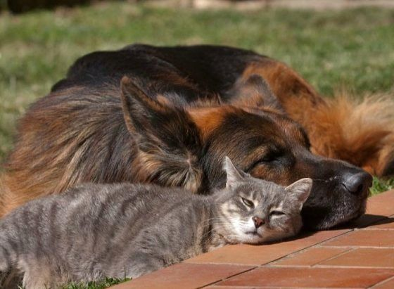Unlikely Friendship Between Grey Kitty And German Shepherd Dog