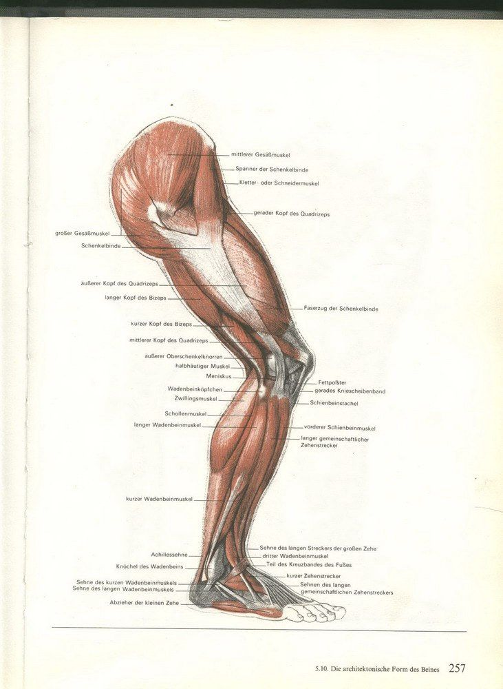 Wunderbar Muskelanatomie Des Beines Bilder - Anatomie Von ...