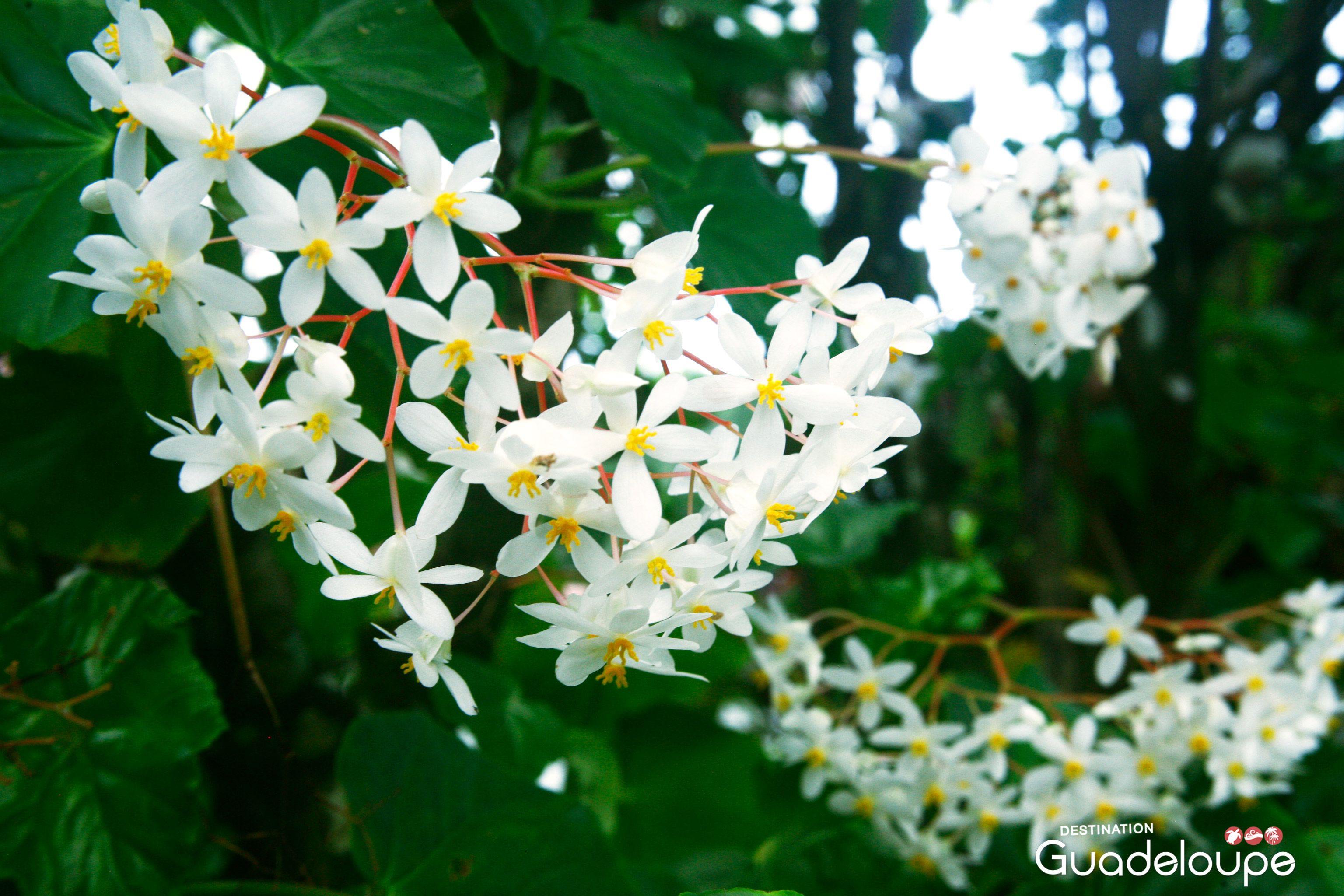Plante Exterieur Qui Aime L Eau fleurs des iles de #guadeloupe | fleurs des iles, fleurs