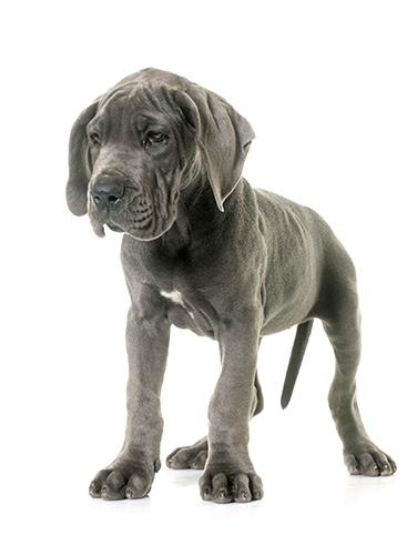 Cute Great Dane Dane Puppies Great Dane Puppy Great Dane