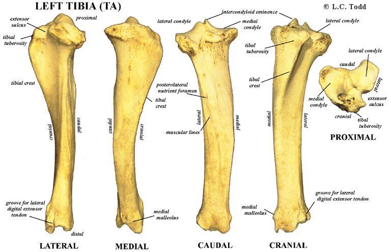 Tibia (TA) scheenbeen Bison | Veterinaria | Pinterest | Anatomia ...