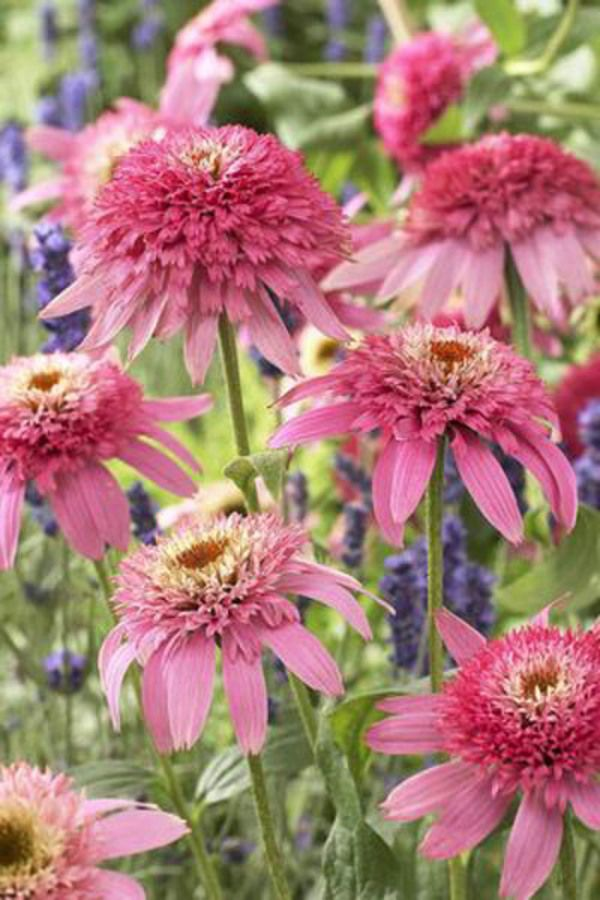 Double your pleasure! Incredibly eye-catching, Echinacea 'Pink Double Delight' is an exquisite beauty with its pom-pom double Coneflowers