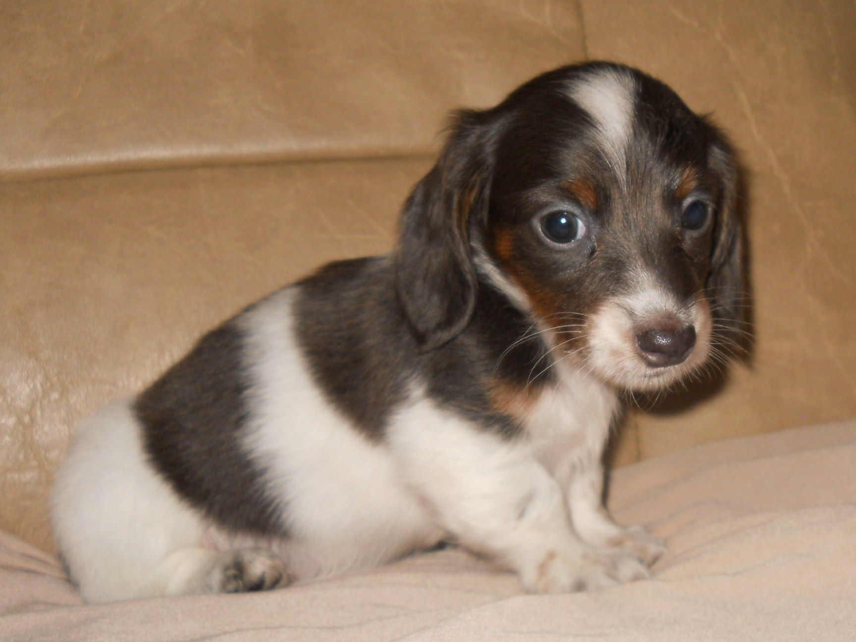 Gray Mini Dachshunds For Sale Dapple Dachshund Puppies For Sale