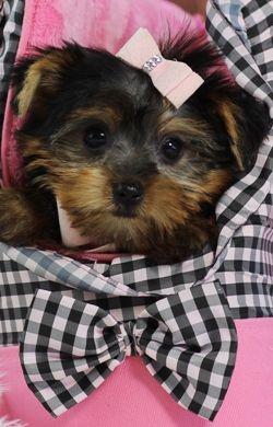 Teacup Yorkies For Sale Teacup Yorkie Dogs Florida Yorkie
