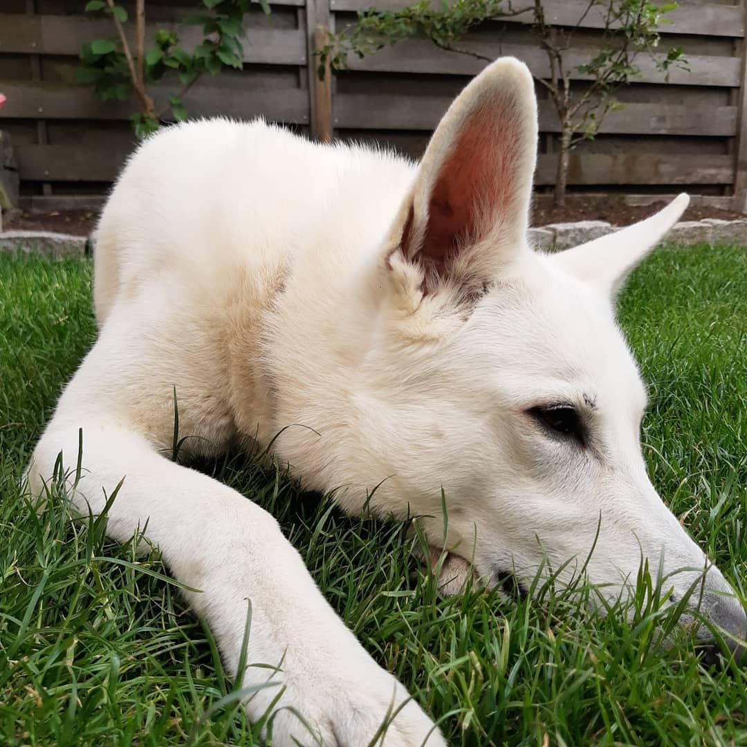 The garden is almost ready, I finally can touch and smell the grass.... Oooohh it's so nice... And the smell is great... #whitehepperd  #Almelo  #dog #gras #garden