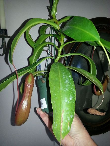 Taking Care Of A Tropical Pitcher Plant Pitcher Plant Care