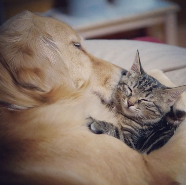 Tabby cat and golden retriever are best buddies | inrumor.com | inrumor