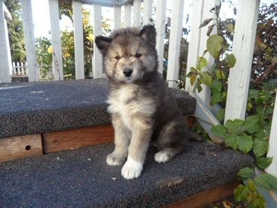 Timber Wolf Mix White Arctic Wolf Mix Siberian Husky Just Looks