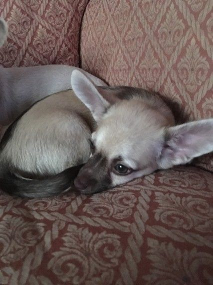 2 Puppy Chihuahua For Sale Cheltenham Gloucestershire