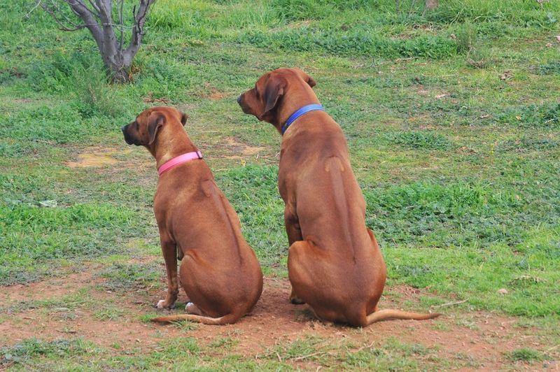 Gumtree Rhodesian Ridgeback Pups Beautiful Dogs Cute Animals Rhodesian Ridgeback