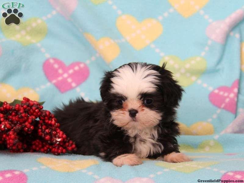 Lacey Shih Tzu Puppy For Sale In Bird In Hand Pa Shih Tzu