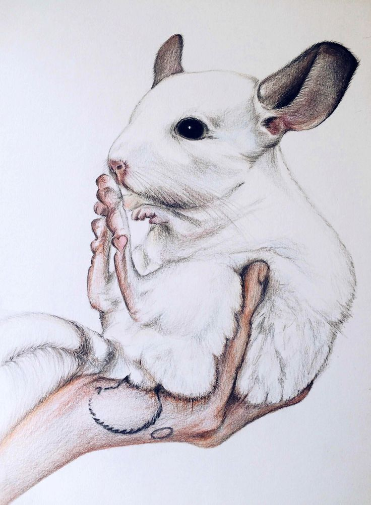 adorable illustration of a cute white chinchilla being held and sitting with his feet up in