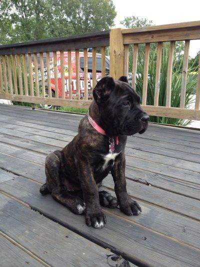 Photo Gallery Fyreland Cane Corso Want No Need Cane Corso Cane Corso Dog Corso Dog