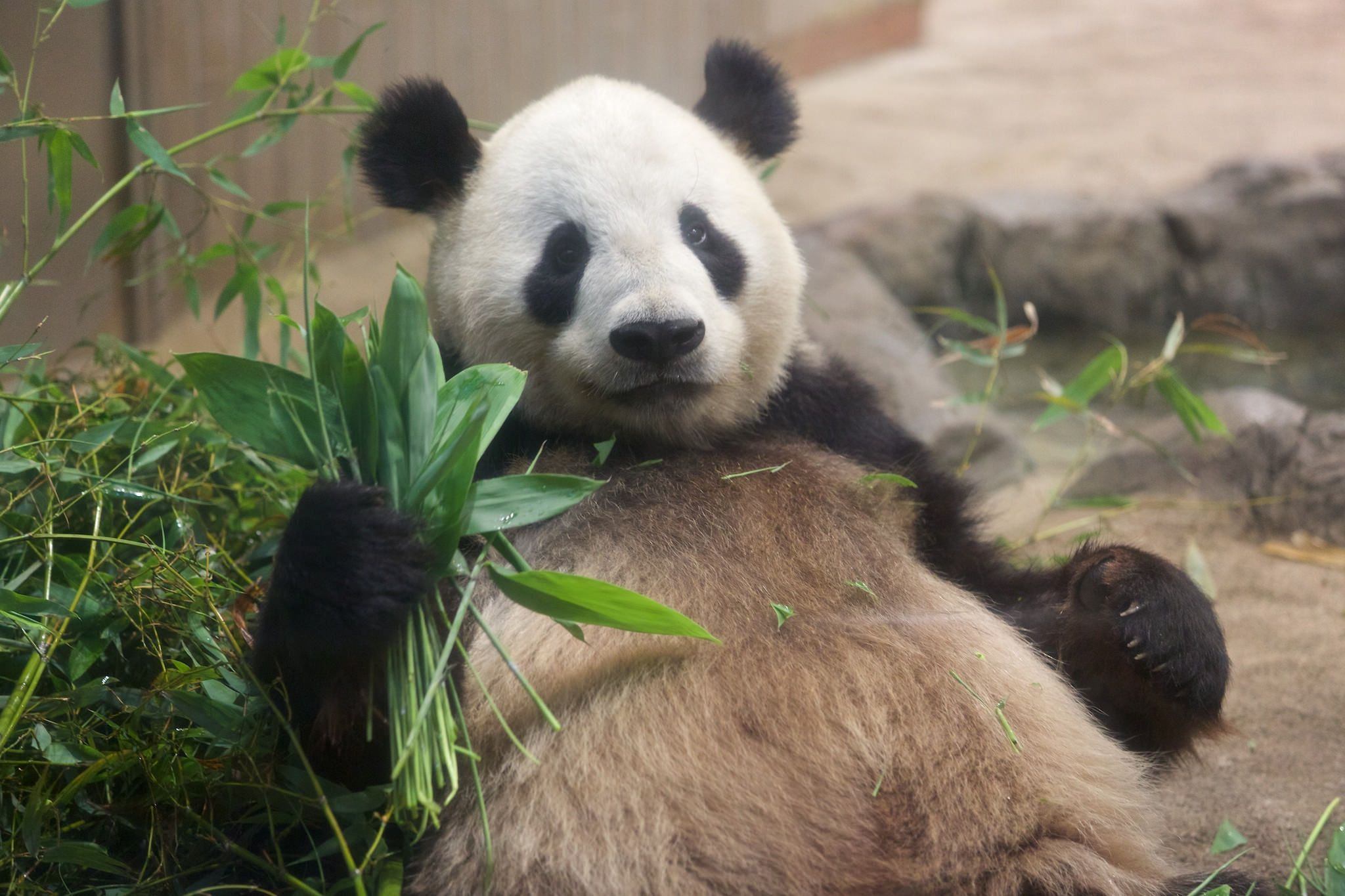 https://flic.kr/p/tnUEEn   パンダのリーリー   2015-06-05 Ueno zoo